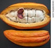 Cacao fruit with the seeds inside