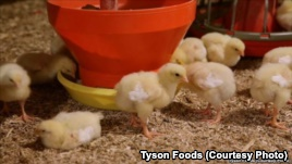 Major Chicken Producer to Stop Using Antibiotics