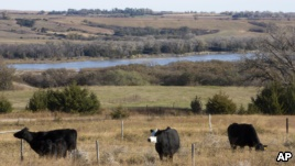 Grasslands in the Niobrara Valley, Nebraska, are rotated to let them heal from grazing animals. (AP)