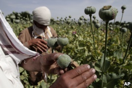 FILE - In this May 10, 2013 file photo, Afghan farmers collect raw opium as they work in a poppy field in Khogyani district of Jalalabad east of Kabul, Afghanistan.