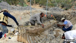 National Institute of Anthropology and History (INAH) workers and paleontologists work on the recovery of a fossilized tail of a duck-billed dinosour, or hadrosaur.