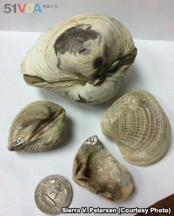 Four bivalve specimens from Antarctica's Seymour Island analyzed in the University of Michigan-led study, showing the range of sizes of the different mollusks.