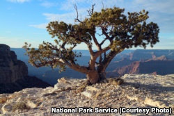Pinyon Pine tree along the Grand Canyon Rim