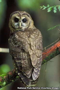 The northern spotted owl