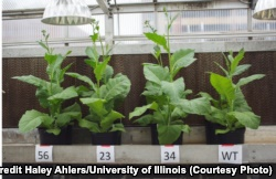 Three supercharged tobacco plant compared to a regular one. (Credit Haley Ahlers/U. of Illinois)