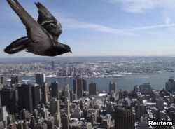 Homing pigeon can find their way home. This pigeon flies over New York City. (2009 Photo: REUTERS/Gleb Garanich)
